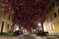 "Avenida ""Cherry Blossom"" en Bonn, Alemania:"
