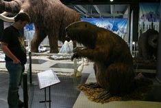 Giant beaver, or castoroides, is an extinct genus of enormous beavers that lived in North America during the Pleistocene. C. leiseyorum and its northern sister species Castoroides ohioensis, were the largest beavers to ever exist. Giant beavers were much larger than modern beavers. Their average length was approximately 1.9 m (6.2 ft), and they could grow as large as 2.2 m (7.2 ft). The weight of the giant beaver could vary from 90 kg (198 lb) – 125 kg (276 lb). This makes it the largest…