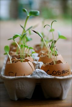 Benefits of Starting Seeds in Eggshells and How to Plant the Seedlings