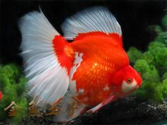 1000 images about fancy goldfish on pinterest goldfish for Pool koi goggles