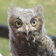 Baby screetch owl which was rescued it is 3 weeks old. The Castle at Muskogee Oklahoma weekends in May