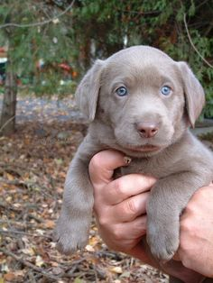 This is what you get when you cross a labrador and a weimaraner...a silver lab!
