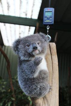 Baby Koala. Oh, the cuteness!
