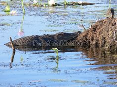 Salzwasserkrokodil im Kakadu National Park (Nortern Territory)