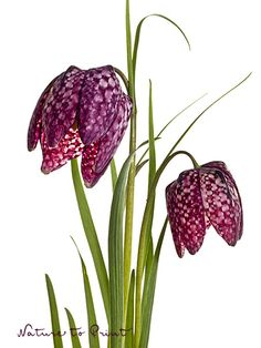 Die Zwei. Rote Schachbrettblumen, freigestellt. Auf Fototapete, Kunstdruck oder Leinwandbild.