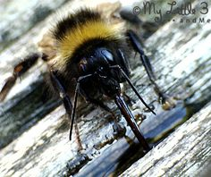 Learn about bees' amazing tongues (proboscis) and how to revive an exhausted bee.