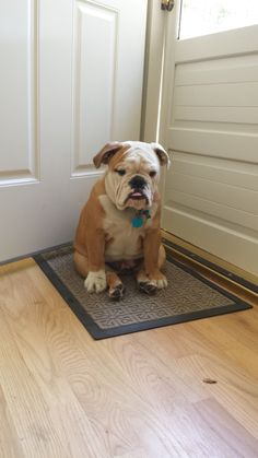 """I've trained Mom & Dad! I sit here ... then they open the door!"" #english #bulldog"