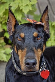 doberman and butterfly...great picture by Deb Simon