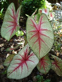 blood leaf Caladium
