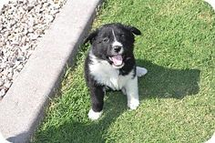 Chandler, AZ - Border Collie Mix. Meet Nava, a puppy for adoption. http://www.adoptapet.com/pet/17848064-chandler-arizona-border-collie-mix