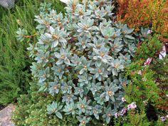Rhododendron Ramapo Is An Evergreen Compact Shrub In My Garden With Aromatic Blue Newfoundlandblue Greypurple Flowersevergreenshrubs Compactviolets