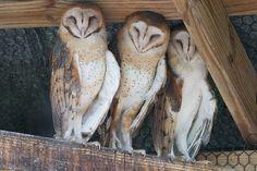 Three Owls by secondclaw