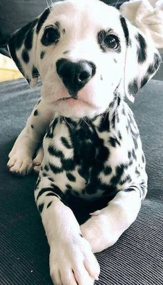 if youre ready to adopt a Dalmatian puppy! Here are some facts to help you decide! Dalmatian Puppies: Pictures And Facts Cute Dogs And Puppies, I Love Dogs, Pet Dogs, Pets, Doggies, Dalmatian Puppies, Puppy Husky, Cavapoo Puppies, Mastiff Puppies