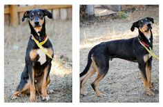 Our Adoptable Dog of the Week is Ace, a 1-year old Doberman Pinscher and Greyhound Mix from Palmyra, Nebraska.