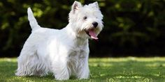 WEST HIGHLAND WHITE TERRIER: UN CANE FAMOSO