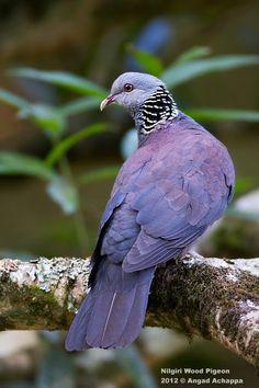 The Nilgiri Wood Pigeon (Columba elphinstonii)