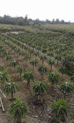 Vendo plantas seleccionadas de pitahaya roja despachos a todo el pais informes al 0985747831