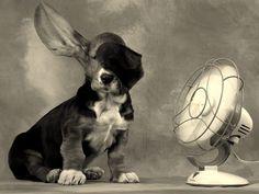 Basset Puppy!