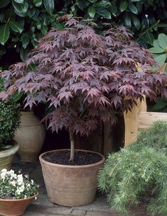 finally my back garden is starting to leaf up, here's an orange dream japanese maple starting to come into life.lovely plant for a back garden. For more on Acer Palmatum Orange Dream and other. Garden Shrubs, Garden Trees, Shade Garden, Acer Garden, Garden Bed, Garden Pots, Potted Trees, Trees And Shrubs, Trees To Plant