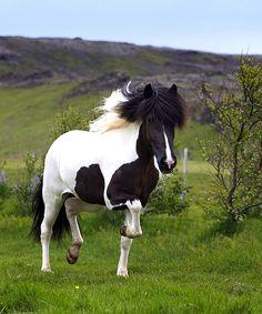 12516-157-194 | Horse, Iceland | Ragnar Sigurdsson | Flickr