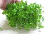 Dwarf PennyWort Mat, Hydrocotyle sibthorpioides, 4 x 6 Dwarf PennyWort Mat, Hydrocotyle sibthorpioides, 4 x 6 inches Average Rating(2) $14.99 In Stock  inches