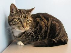 This distinguished lady is Pepper!  Pepper is an affectionate and relaxed kitty looking for a comfy home where she can enjoy her retirement.  She has lived with a dog before and may enjoy a dog friend in her new home.  However she would prefer to be the only cat in your life.  She can be a little wary of new situations so any introductions to resident pets or children should be slow and supervised.  Pepper is anxious to find her new home, could you be the one to help her?