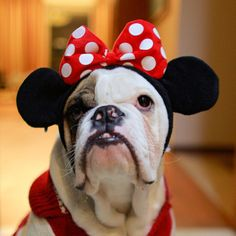 Minnie mouse or a bulldog?