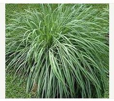 citronella grass Need to crush grass, add vanilian and apply to skin to get mosquito repellent protection.  Citronella oil alone does not get the job done.