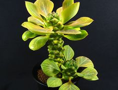 Gallery Box > Monadenium - リチェイ錦 - 多肉植物 ルチアから全国に通販 ハオルシア エケベリア