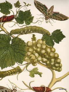 Grapevine with Vine Sphinx Maria Sibylla Merian 1680