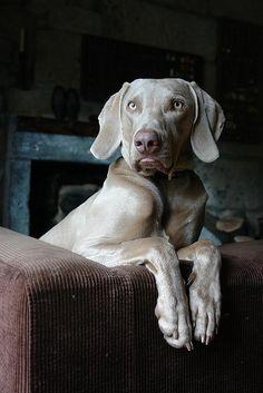Weimaraner / Weimeraner Puppy Dog