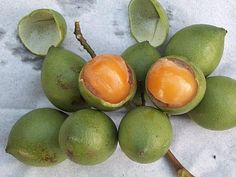 OMG! They have these in El Salvador, I would eat them off a tree when I a kid and there!