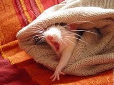 Yawning rats are the cutest.