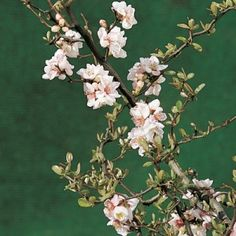 Contorted Flowering Quince - Fruiting, flowering branches (forcing)