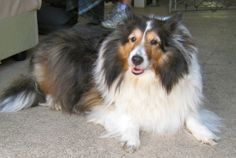 Tess is an adoptable Shetland Sheepdog Sheltie Dog in Spring Lake, NJ. Tess used to live in a convalescent home until the new management kicked her out. Now, at 10 years old, she's looking for a new...