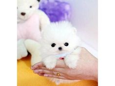 Feet-down Teacup Pomeranian Puppies