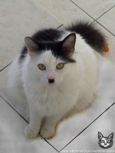 Cats that look like hitler