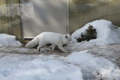 Arctic Fox-Toronto Zoo  Photo by: Marcy Stickle