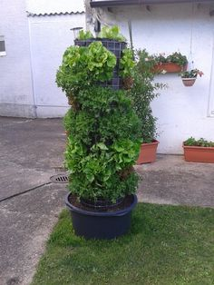 Salatbaum