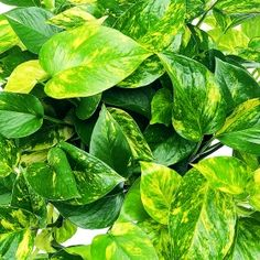 Pothos -Golden  Golden  Botanical Name: Epipremnum Aureum Origins: Solomon Islands Light: Low Light Watering: Daily Growth Speed: Fast Grower: Novice Style: Table Top, Standing Home Decor: Casual Variety Code: 296 - See more at: http://www.exoticangel.com/plant-library/species/pothos/item/511-golden#sthash.hKdA0MoH.dpuf