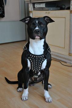 Name: Shadow (male)*Breed: Pitbull x American Staffordshire Terriër*Owner: Brahim*www.Staffs-Exclusives.com