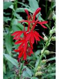 Special Collections: Hummingbird Plants for Central Texas | NPIN