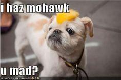 Shih Tzu Mohawk Haircut