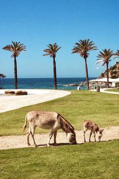 """In unserem Falkensteiner Resort Capo Boi haben wir ganz besonderen Nachwuchs: Roxy unseren Baby-Esel! Wir freuen uns über unser neues """"Familienmitglied"""" auf Sardinien - und unser Nachwuchs freut sich auf viele Kinder, die ihn streicheln kommen! Parks, Strand, Roxy, Camel, Workout, Animals, Environment, Petting Zoo, Sardinia"""