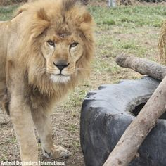 CHECK THIS OUT: After years of horrific abuse, there is finally a chance to get these lions to safety! Rainforest Site, The Lion Sleeps Tonight, Male Lion, Animal Rescue Site, Mountain Lion, Pumas, Panthers, Big Cats, Lions