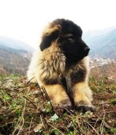 Cão Serra da Estrela  [portuguese breed of dogs]