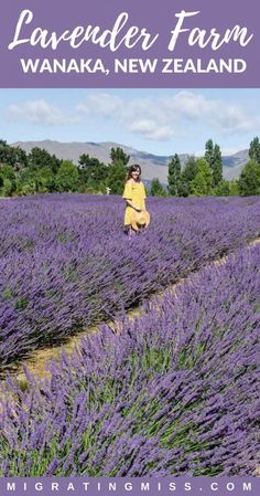 A Delightful Visit to the Wanaka Lavender Farm, New Zealand - This is a must-do in New Zealand! When you're in Wanaka don't just do all the awesome adventure activities, visit the Wanaka Lavender Farm to walk through the lavender fields too! #lavender #wanaka #lavenderfields #lavenderfarm #newzealand #travel