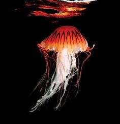 El libro `Los colores del agua´ muestra diferentes habitantes del mundo marino, como esta medusa brújula.