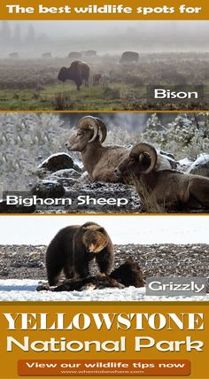 Park Wildlife: Best Time + Tips Before You Go Must see spots for animals in Yellowstone National Park: Hot springs, valleys, and more!Must see spots for animals in Yellowstone National Park: Hot springs, valleys, and more! Yellowstone Hikes, Yellowstone Vacation, Yellowstone National Park, American National Parks, California National Parks, National Park Lodges, Channel Islands National Park, Escalante National Monument, Best Hikes