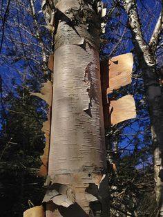 Birch Bark: medicine and survival material